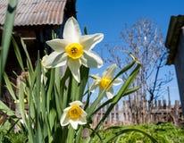 Witte narcissuses op het landschapsachtergrond van het de lentedorp Stock Fotografie