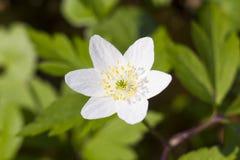 Witte nemorosa van de bloemanemoon, houten anemoon, windflower Royalty-vrije Stock Afbeeldingen