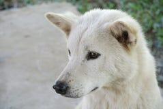 Witte nieuwsgierige hond Stock Fotografie