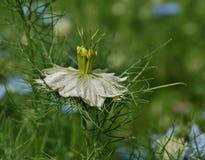 Witte Nigella Damascena Royalty-vrije Stock Afbeeldingen