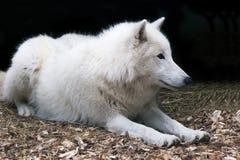 Witte NoordpoolWolf Stock Afbeeldingen
