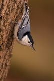 Witte Nuthatch Breasted royalty-vrije stock afbeeldingen