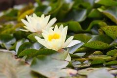 Witte Nymphaeaceae royalty-vrije stock afbeelding