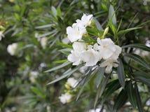 Witte oleander Royalty-vrije Stock Afbeeldingen