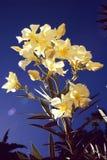 Witte oleander Stock Foto's