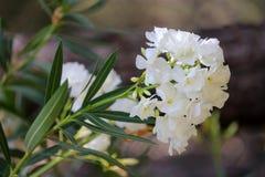 Witte oleanderbloemen en bladeren royalty-vrije stock fotografie