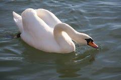 Witte olor die van zwaancygnus op het glasheldere meer drijven Royalty-vrije Stock Foto's