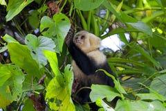 Witte onder ogen gezien Capuchin Royalty-vrije Stock Afbeeldingen