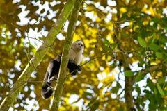 Witte onder ogen gezien Capuchin stock foto