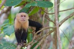 Witte onder ogen gezien Capuchin Aap Stock Foto's