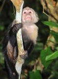 Witte onder ogen gezien capuchin aap, cahuita, Costa Rica Stock Foto's
