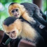 Witte onder ogen gezien capuchin aap dicht omhoog Stock Foto