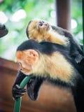 Witte onder ogen gezien capuchin en baby dicht omhoog Royalty-vrije Stock Afbeeldingen