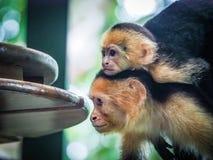 Witte onder ogen gezien capuchin en baby dicht omhoog Stock Foto
