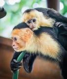 Witte onder ogen gezien capuchin en baby dicht omhoog Stock Afbeelding