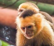 Witte onder ogen gezien capuchin en baby dicht omhoog Stock Afbeeldingen