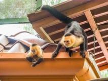 Witte onder ogen gezien capuchin en baby op het dak Royalty-vrije Stock Foto