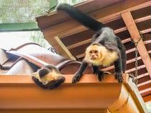 Witte onder ogen gezien capuchin en baby op het dak Royalty-vrije Stock Afbeeldingen