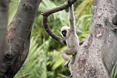 Witte onder ogen gezien gibbon Royalty-vrije Stock Afbeeldingen