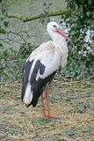 Witte Ooievaar 1 stock fotografie