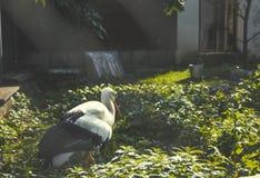 Witte Ooievaar Royalty-vrije Stock Fotografie