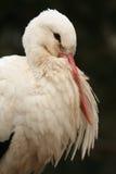 Witte Ooievaar stock foto