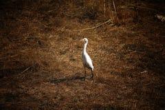 Witte Ooievaar stock fotografie