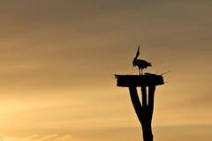 Witte Ooievaar bij Zonsondergang stock afbeeldingen