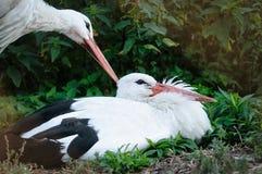 Witte Ooievaar (Ciconia-ciconia) Royalty-vrije Stock Foto