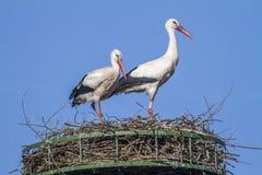 Witte Ooievaar (Ciconia-ciconia) royalty-vrije stock fotografie