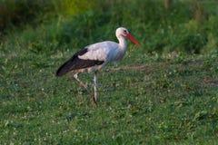 Witte Ooievaar (Ciconia-ciconia) royalty-vrije stock foto's