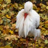 Witte ooievaar die, ciconia Ciconia rust Royalty-vrije Stock Fotografie
