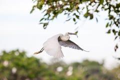 Witte ooievaar die in de wildernis vliegen Stock Foto's