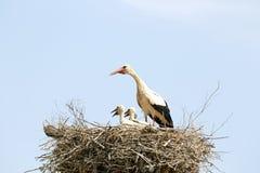 Witte ooievaar die haar babys op het nest voeden Stock Afbeelding