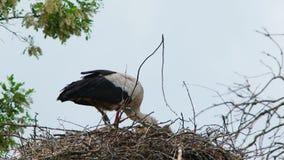 Witte Ooievaar die in het Nest eten stock videobeelden