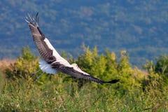 Witte ooievaar die over groen gebied vliegen royalty-vrije stock afbeelding