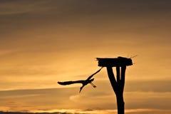 Witte Ooievaar die vlucht bij zonsondergang neemt royalty-vrije stock afbeeldingen