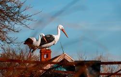 Witte ooievaar in het nest stock afbeeldingen