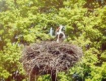 Witte ooievaar in het nest Stock Fotografie