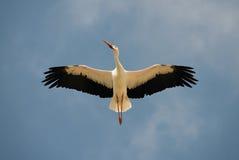 Witte Ooievaar lucht royalty-vrije stock afbeelding