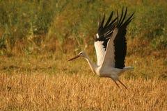 Witte ooievaar ongeveer om te vliegen Stock Afbeeldingen
