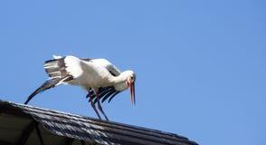 Witte ooievaar op dak Royalty-vrije Stock Afbeelding