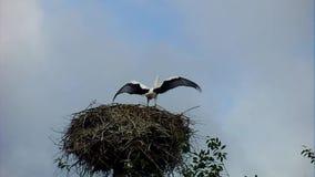 Witte ooievaar op het nest stock footage