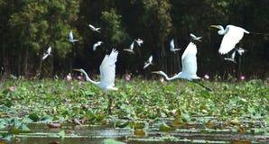 Witte ooievaar tijdens de vlucht boven nest stock foto's