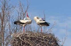 Witte Ooievaars Royalty-vrije Stock Foto's