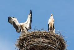 Witte Ooievaars Stock Afbeelding
