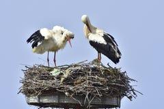 Witte Ooievaars Royalty-vrije Stock Afbeelding