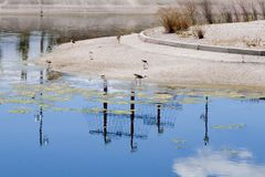 Witte ooievaars die in een meer van een park drinken Stock Fotografie
