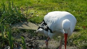 Witte ooievaars die zich op vijver bevinden stock footage