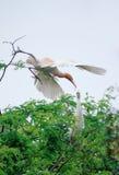 Witte ooievaars in mekong delta Stock Fotografie
